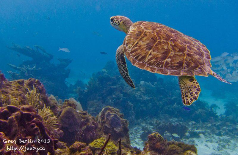 Friendly Turtle near Sekotong, Lombok, Indonesia
